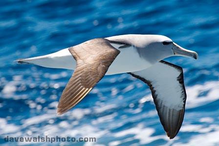 Salvin's Albatross, Thalassarche salvini Diomedeidae