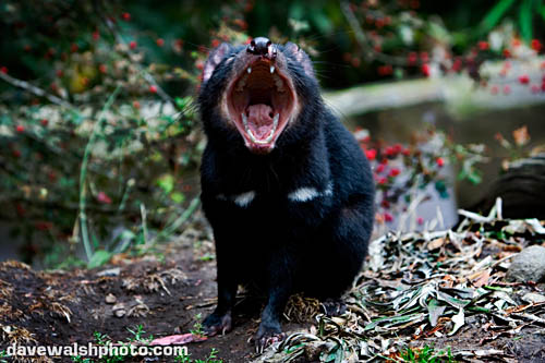 Tasmanian Devil showing massive jaw gape - a fear/anxiety signal