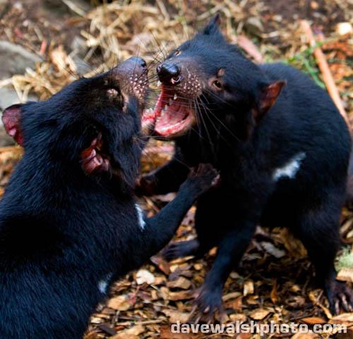 Tasmanian Devils playing or fighting