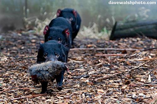 Tasmanian Devils feeding