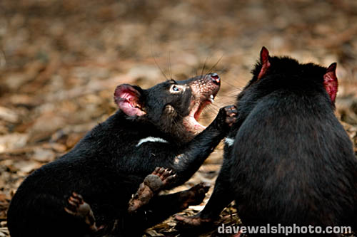 Tasmanian Devils fighting