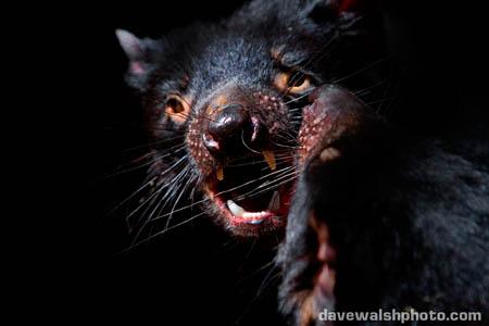 Tasmanian Devil mating