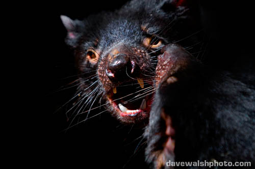 Tasmanian Devil mating