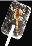 A scorpion! In a lollipop! A vodka lollipop!